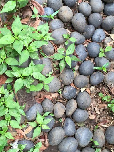 Stones Plants