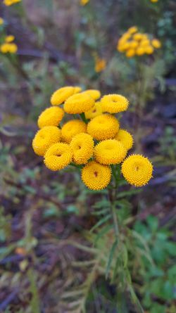 flower Yellow Norway Fall Autumn Flower Wild Flowers Nature Tansy Outdoors Beauty In Nature Beauty Of Nature