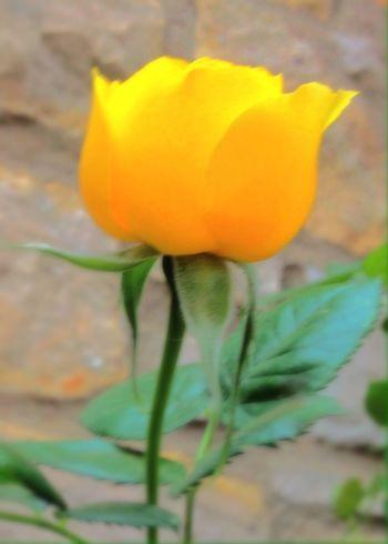 Showcase April Roses Rose♥ Rose🌹 EyeEm Flower EyeEm Best Shots - Flowers In My Backyard In My Yard Things I Like EyeEmBestEdits My Oklahoma EyeEm Best Shots - Nature EyeEm Nature Lover Tulsa,oklahoma Oklahoma Nature Tulsa, OK Tulsa, Oklahoma