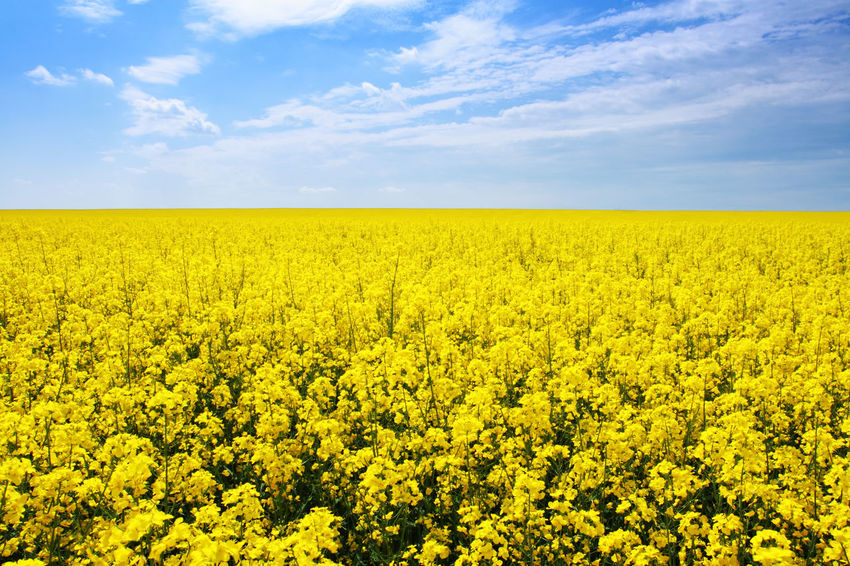 Abundance Agriculture Beauty In Nature Cloud Cloud - Sky Crop  Cultivated Land Day Field Flower Growth Horizon Over Land Idyllic Landscape Nature No People Oilseed Rape Outdoors Plant Rural Scene Scenics Sky Tranquil Scene Tranquility Yellow