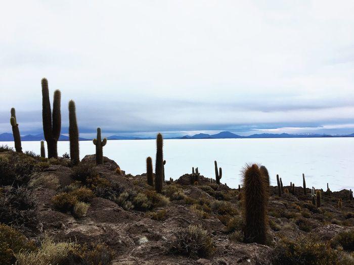 Cactus growing on field against sky