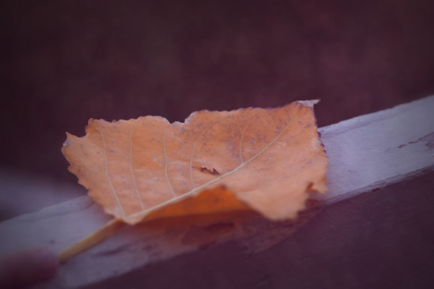Fallen Close-up Crinkles, Crisp, Curly Leaf Fragility Pattern, Wood Rail, Outside, Fragility, Delicate Textures In Nature Yellow Leaf, Cloudy Day, Autumn, Rainy, Lonely, Sad, Close Up, No People, Foliage. Veins. Fall, Railing, Wood Textures