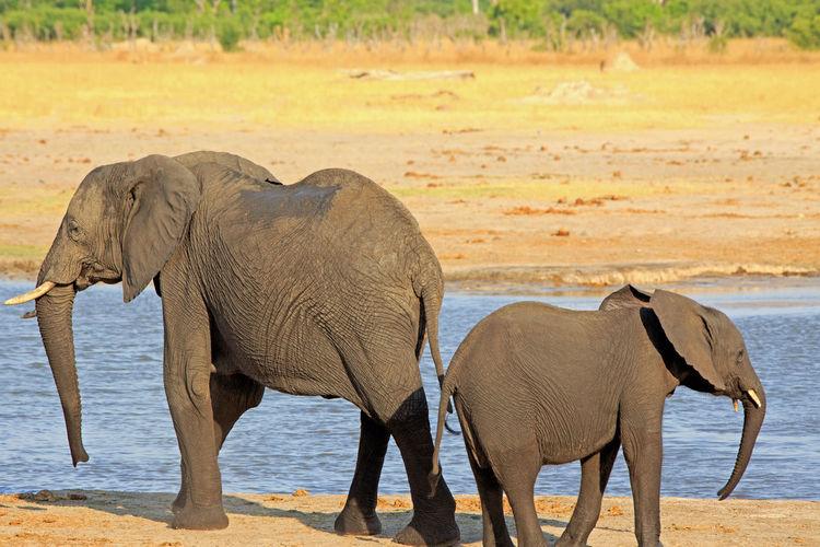 Animal Wildlife Animal Animals In The Wild Animal Themes Mammal Nature No People Day Elephant Group Of Animals Safari African Elephant Water Elephant Calf Herbivorous Animal Trunk Animal Family Outdoors Wildlife Animals In The Wild