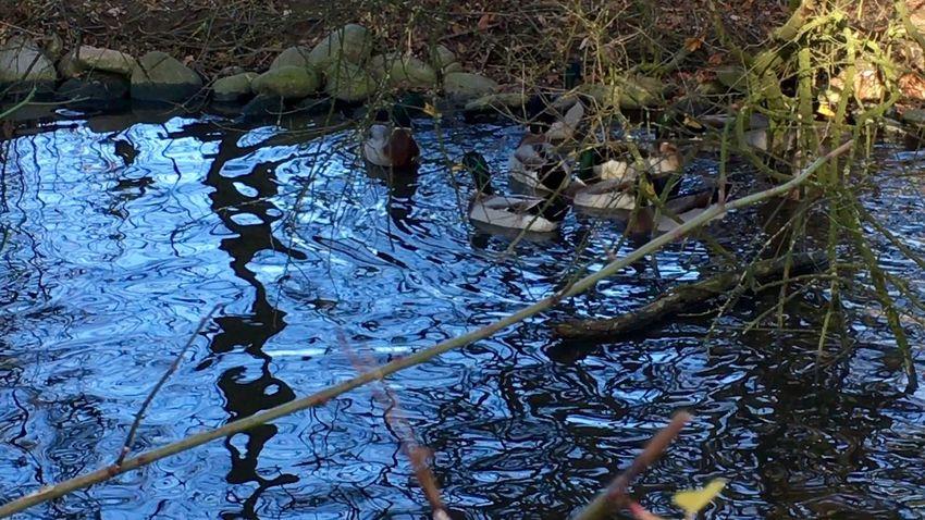 Spiegelung Water Reflections Water_collection Water Water Reflection Waterreflections  Enten Ententeich Duck Ducks