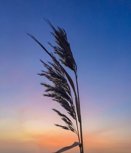 Low angle view of silhouette plant against sky at sunset