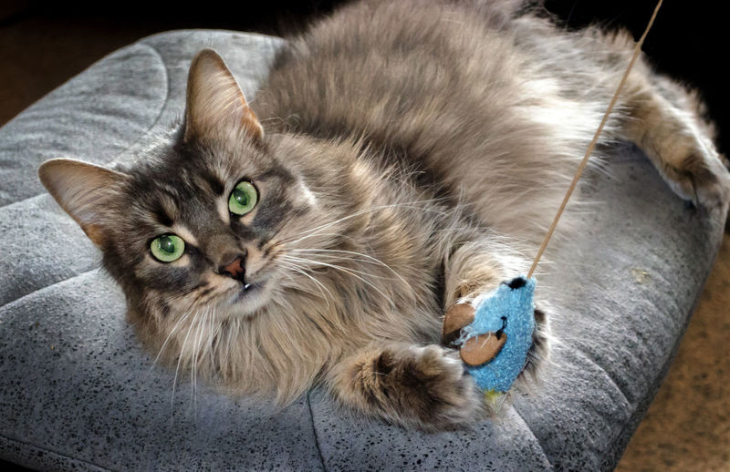 furry grey cat holds on to a toy mouse and dares you to try and take it away Cat Feline Furry Petal Playing Grey Stripes Looking At Camera Pet Toy Playful Horizontal Furry Friends Toy Mouse Green Eyes Domestic Cat Small Cat Kitty Long Haired Cat Friendship