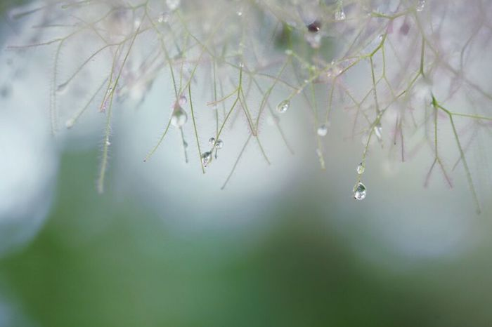 Nature Drop Beauty In Nature Close-up Day Macro Canonphotography 雫 Canon スモークツリー