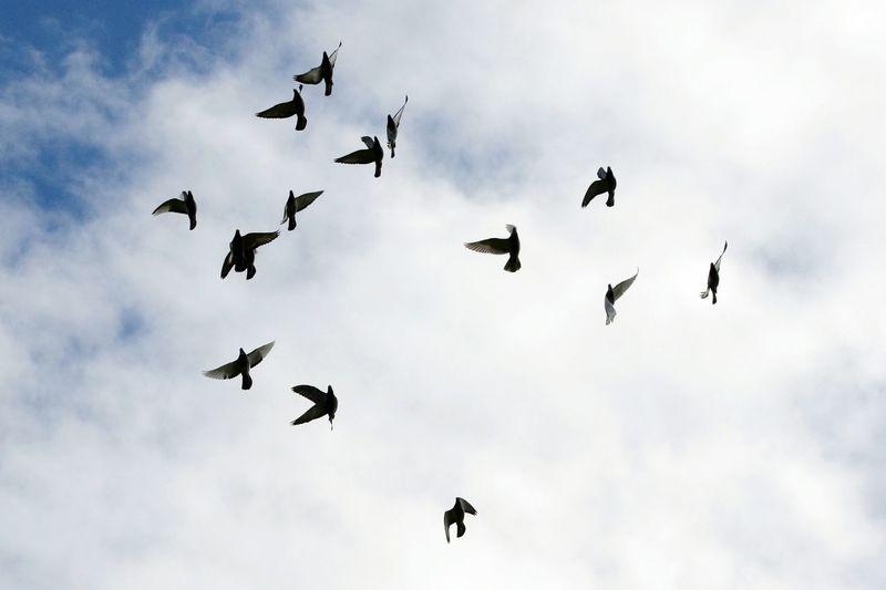 Birds In Flight Racing Pigeons