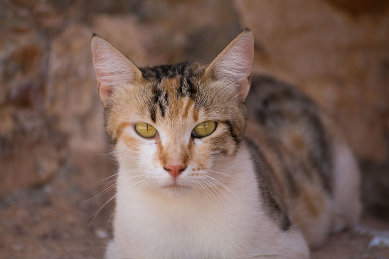 Close-up of a beautiful Wild Cat. Close Cat Outside Eyes Nature Hole Wild Species Genetic Katze Animal Portrait Closeup Female Cat Animal Face Yellow Eyes Stray Animal Whisker Ginger Cat