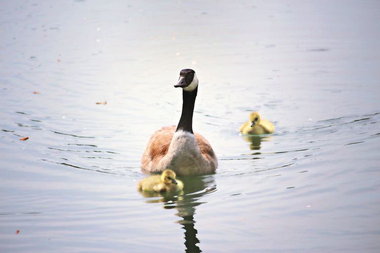 Goose with goslings in lake