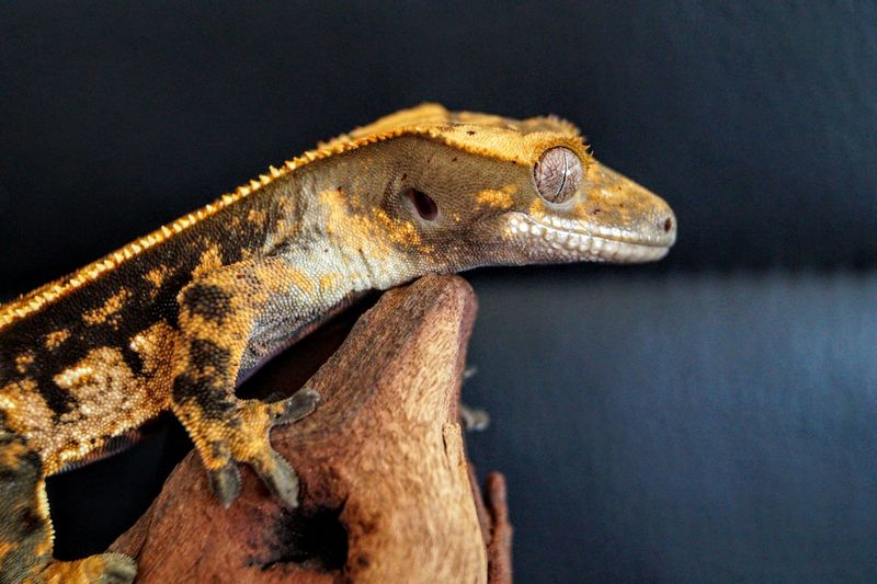 Tricolour pinstripe crested gecko