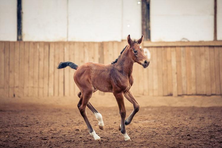 Pony running in ranch