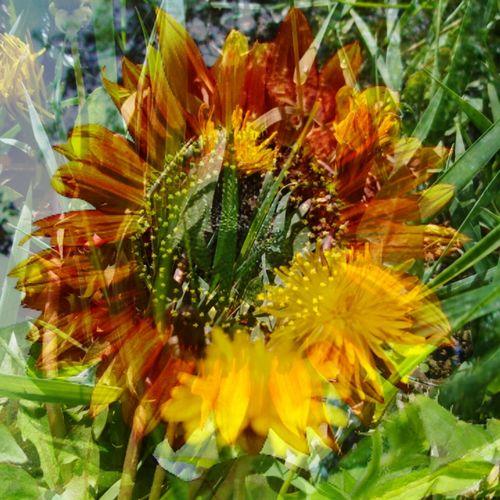 Blend Edit Mypic Sunflower🌻 Dandelion Flowers Nature Photography Green Yellow Flower Outdoors Nature Sunflowerlovers Grass Color Portrait Redsunflower Beauty In Nature Edit Blendingphotos