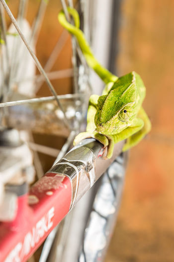 Algarve Animals In The Wild Bycicle Chameleon Close-up Eyes Focus On Foreground Green Color Kameleon One Animal Portugal Wildlife Zoology