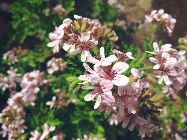 Enjambre rosado. Plantas Plants Naturaleza Primavera Flores Petalos Spring Flowers Grow Cultivo Small Flowers Flor Pequeña Rosa Pink