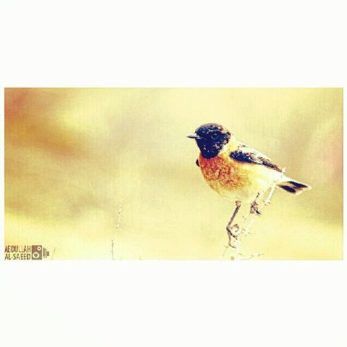 Bird Fadh Sarif Qassim northeast Rabaieih bird photography camera Canon 50 D 70-300 zoom lens Japanese طير فيضة الصريف القصيم شمال شرق الربييعية طائر تصوير كاميرة كانون 50دي عدسة زوم 70-300 يابانية