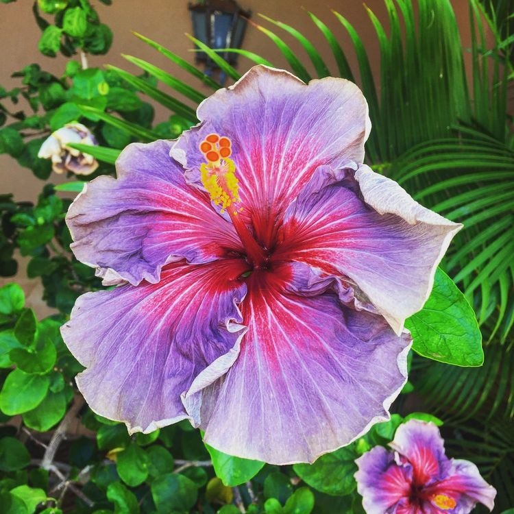 Purple Hibiscus First Eyeem Photo EyeEmNewHere