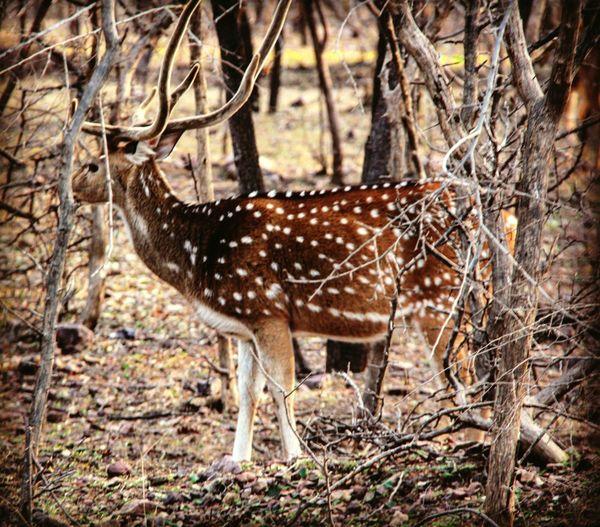Spotted Standing Deer Animals In The Wild Wildlife Photography JungleExperience Deersighting