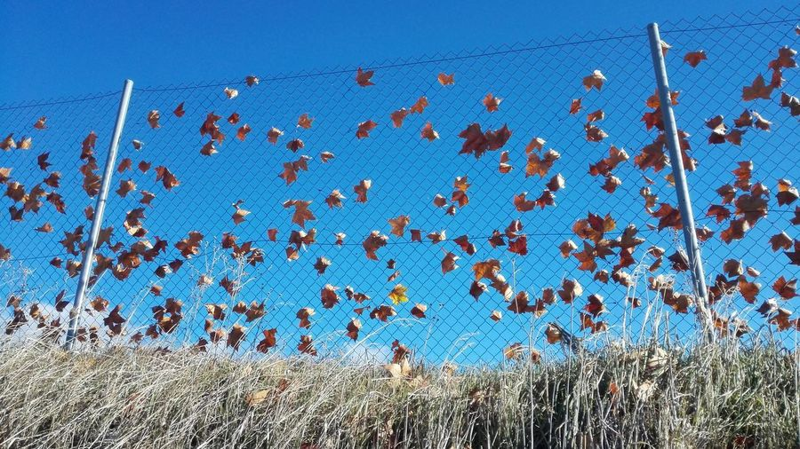 Low angle view of leaves stuck in chainlink fence against blue sky on sunny day