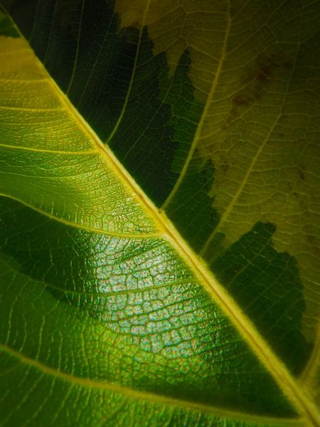 Found this multi layer colored leaf in the park 🍂 Leaf Vein Leaf Leafporn Leaf Photography Leaf Pattern Leaf 🍂 Leaf Veins Leafphotography Shades Of Green  Multi Layer Multi Colored Multi Colored Leaf Faded Beauty Diagonal Lines Diagonal Symmetry Diagonal Line Leaf Upclose Macro Macro Photography Macro Leaf Macrophotography Sattahip Thailand Fujifilm Finepix Xp60
