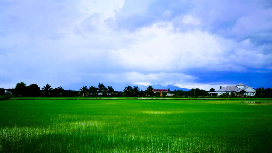 Rice Paddy Rice
