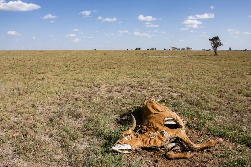 Dead cattle on land