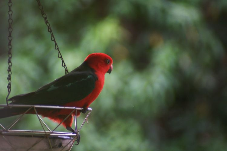King Parrot Australia Bird Photography Canon Photography Animal Themes Bird Animal Vertebrate One Animal Animal Wildlife Animals In The Wild Perching Red Focus On Foreground No People Nature Parrot Green Color Close-up Day Outdoors