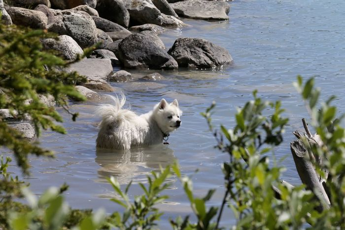 American Eskimo dog swimming in Lake Louise in Alberta, Canada. American Eskimo Bathing Dog Swimming Lake Louise,Alberta Swimming Warm Day Animal Themes Animals In The Wild Day Dog Domestic Animals Lake Lakeshore Mammal Nature No People One Animal Outdoors Pets Summer Water