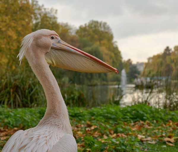 First introduced to the St. James Park in 1664 as a gift from the Russian Ambassador LONDON❤ London's Pelicans St. James's Park Animal Themes Animal Wildlife Animals In The Wild Beak Beauty In Nature Bird Close-up Day Nature No People Outdoors Pelicans