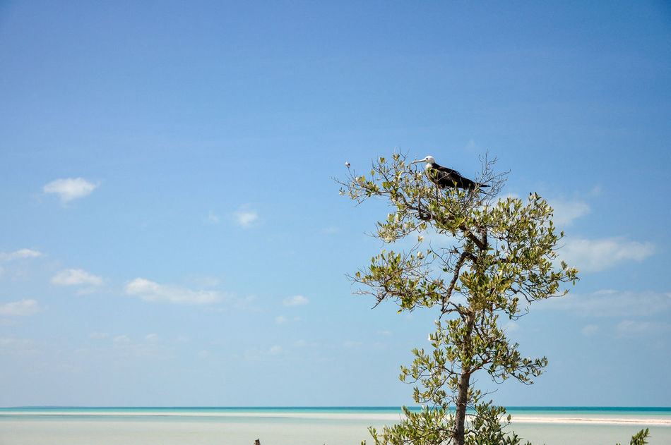 Magnificent Frigatebird sitting in a tree Nikon Holbox Island Magnificent Frigatebird Yúcatan Animal Animal Themes Animal Wildlife Animals In The Wild Bird Blue Day Nature No People One Animal Outdoors Plant Sky Tree Vertebrate