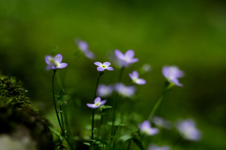 Beauty In Nature Bloom Blooming Blossom Blue Flower Blue Flowers Close-up Flower Flower Head Forest Photography Fragility Green Color Growth Macro Macro_flower Macro Nature Macro Photography Macro_flower Nature Nature Petal Plant Wildflower Wildflowers