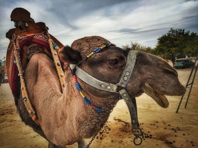 Camel Turkey Camel Capadoccia Animal Themes