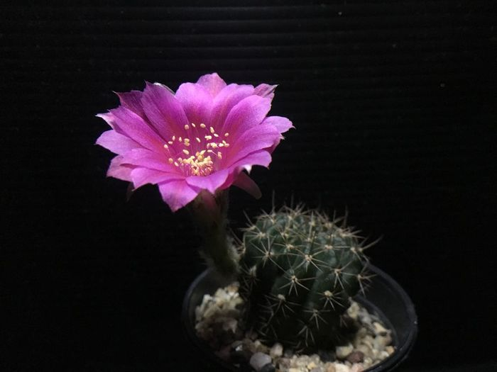 Close-up of pink cactus flower against black background