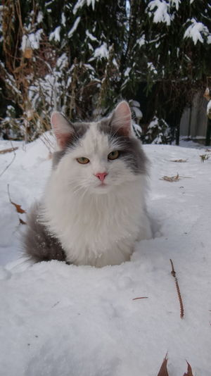 Portrait Of White Cat Sitting On Snow