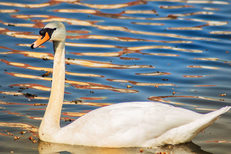 📷 1300D - Tamron 70-300 Freedom Animal Animal Neck Animal Themes Animal Wildlife Animals In The Wild Beauty In Nature Bird Day Floating On Water Freshwater Bird Goose Group Of Animals Lake Nature No People Outdoors Outside River Swan Swimming Vertebrate Water Water Bird White Color
