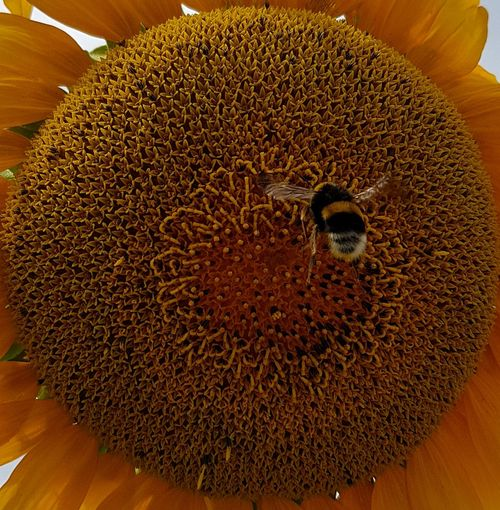 Brown Close-up No People Animal Themes Indoors  Day Nature Freshness Sunflowers Macro_flower Macro Insect