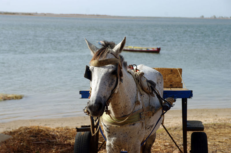 Horse standing in front of the Mangrove of Sine Saloum, in the rising sun on early morning Africa Animal Themes Beach Day Domestic Animals Horse Horse Cart Horsedrawn Mammal Nature No People One Animal Outdoors Sea Senegal Sine Saloum Sky Transportation Water