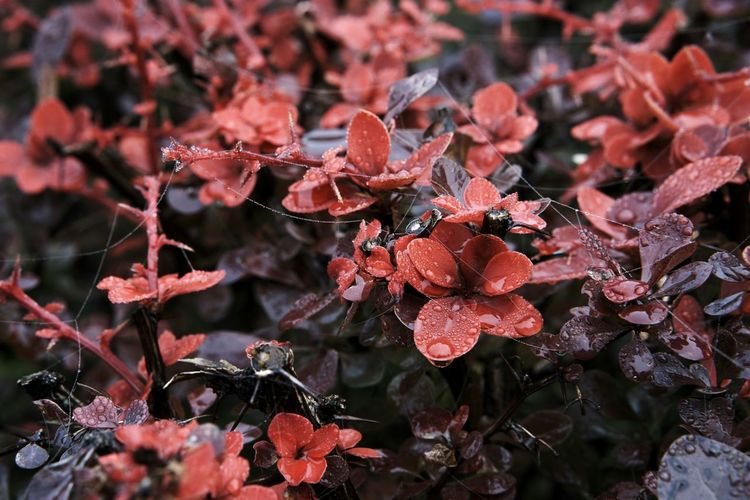 Red Focus On Foreground Freshness Fragility Nature Plant Dew Autumn Autumn Collection Nature_collection Nature Photography Autumn Leaves Autumn Colors Dew Drops Spiderweb A New Beginning