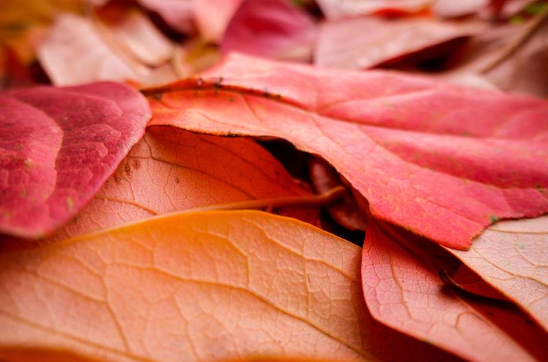 Close-up of orange maple leaves