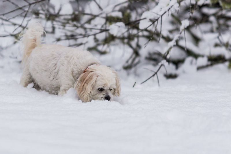 Lhasa Apso Animal Themes Cold Temperature Day Dog Domestic Animals Lhasa Mammal Nature No People One Animal Outdoors Pets Snow White Color Winter