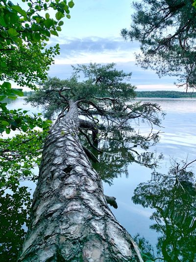 Pine Pine Tree Tree Plant Sky Nature Beauty In Nature Tranquility Growth Cloud - Sky Day Water No People Green Color Reflection Scenics - Nature Outdoors Tranquil Scene Branch Non-urban Scene Lake