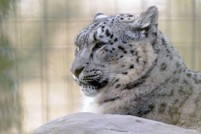 Snow Leopard Snow Leopard Leopard Animal Themes Animal One Animal Mammal Feline Cat Vertebrate Zoo