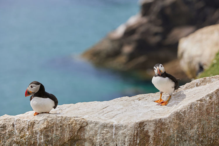 Puffin standing on a rock cliff . fratercula arctica