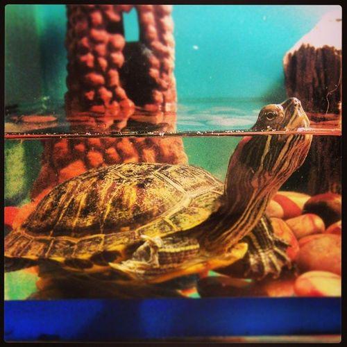 У нас с любимой @aloya_roza новый член семьи черепаха Turtle