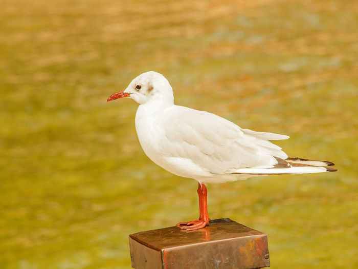 Bird Animal Themes Animal Animal Wildlife Vertebrate One Animal Animals In The Wild Focus On Foreground Perching No People White Color Close-up Seagull Day Side View Nature Outdoors Full Length Beak