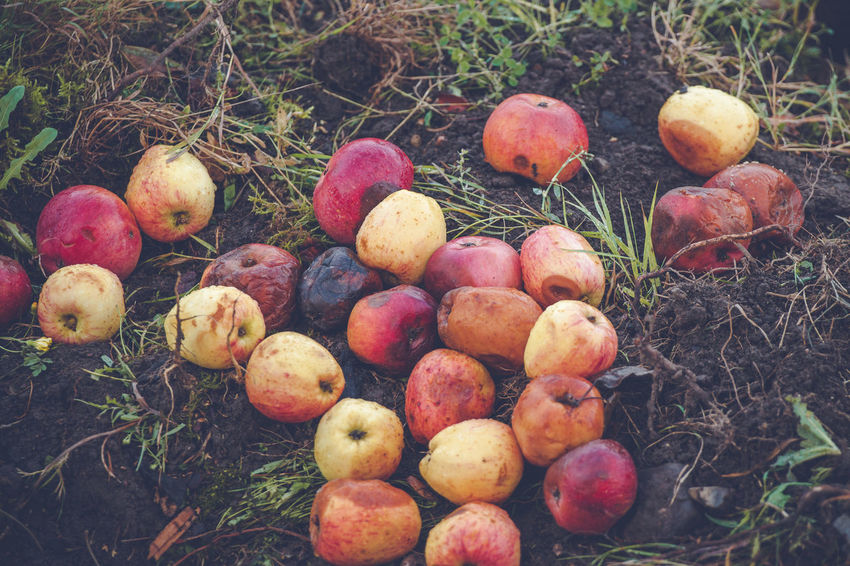 Food Food And Drink Healthy Eating Fruit Wellbeing Apple - Fruit Freshness Nature Land Plant Day Field No People Grass High Angle View Apple Rotting Outdoors Group Of Objects Close-up Ripe Ruined