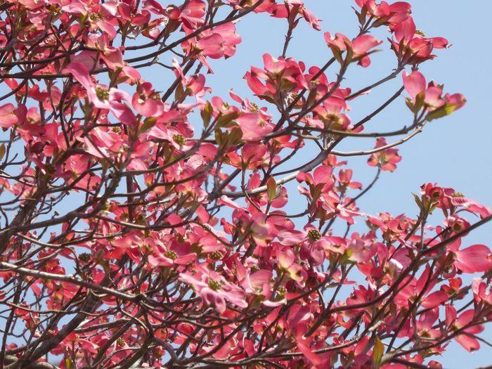 満開のハナミズキ Tadda Community Flower