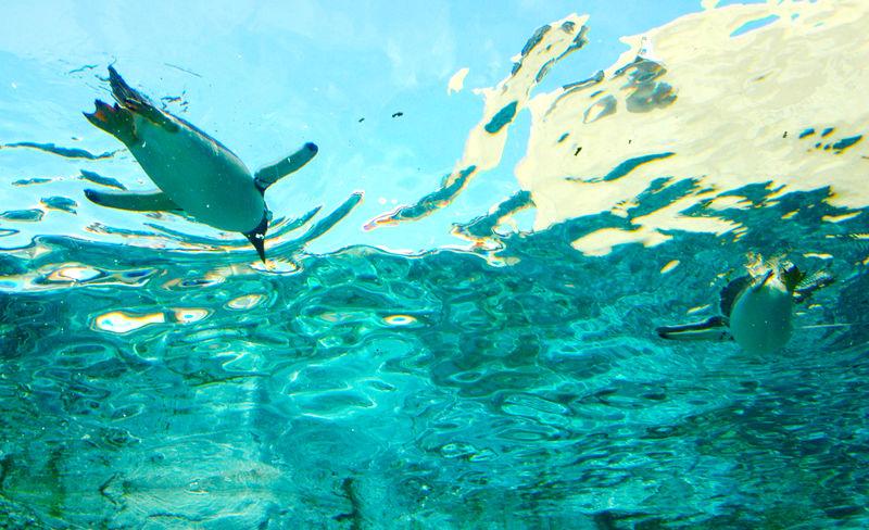 Animal Animal Themes Aquarium Blue Day Marine Nature No People Penguin Penguins Sea Sea Life Swimming Turquoise Colored UnderSea Underwater Water Fish Tank Animals In Captivity