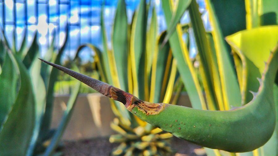 Thorn Agave