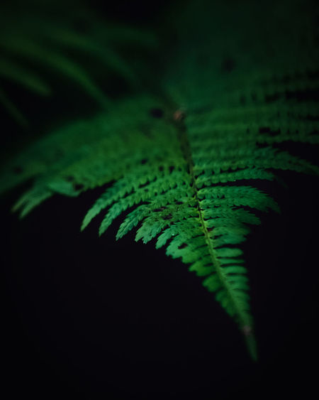 Exceptional Photographs Silhouette EyeEm Nature Lover Bokeh Lights Bokeh Love Bokehlicious Poland Black Background Fern Leaf Frond Peacock Feather Close-up Green Color Plant Leaf Vein Lightweight Leaves Plant Life Pine Woodland Softness